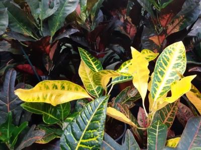 kirjuleheline ebakrooton (Codiaeum variegatum)